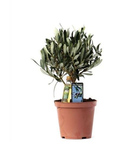 Olive Tree in a 14cm Pot