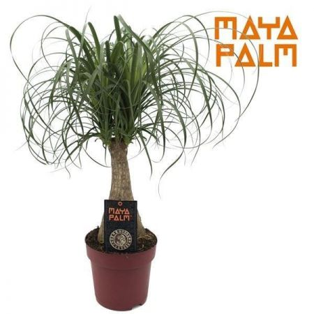Nolina Maya Palm plant in a 19cm pot.  Ponytail Palm. 55-60cm tall