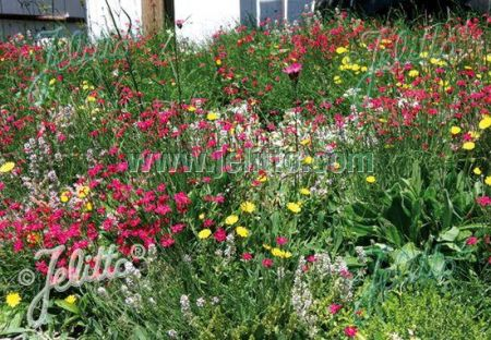 Green Roof seed mix  4 grams.  For Direct Sowing. Sedums, Alpines and Herbs