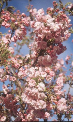 Prunus Pink Perfection Japanese flowering cherry tree in a 12 Litre Pot