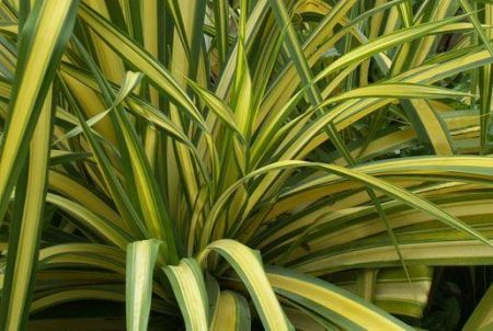 Phormium Yellow Wave plant in a 19/20cm pot. Flax Lily.  RHS AGM