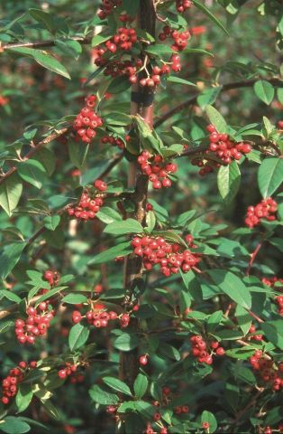 Cotoneaster hybridus Pendulus tree in a 12L container