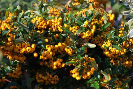 Pyracantha Flava shrub plant in a 19cm Pot with a 3 cane. Prickly hedging