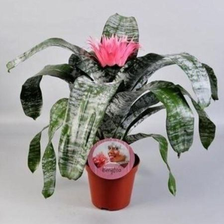 Aechmea Pink Bromeliad house plant in 15cm pot. 65cm tall