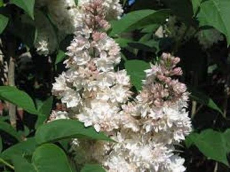 Syringa vulgaris Beauty of Moscow lilac tree in a 7 Litre Pot