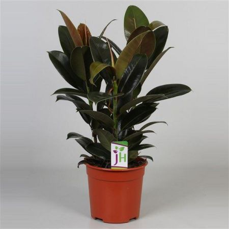 Rubber Plant Ficus elastica Melany in a 19cm pot.  Rarely offered