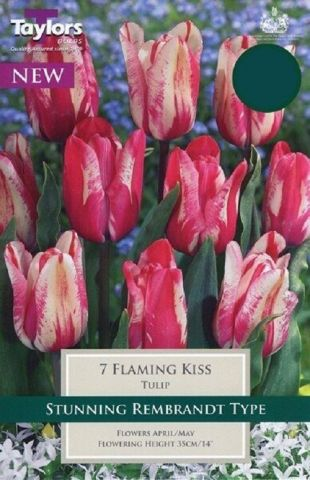 Tulip Flaming Kiss Bulbs x 7