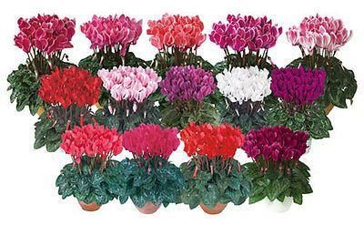 Mini Cyclamen plants in 9cm pots x 3. Hardy and scented[Mixed colours]