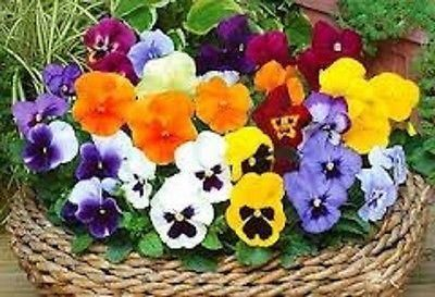 Pansy mixed in 9/10cm pots x 9.  Bedding plants ready for the garden