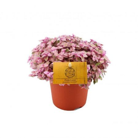 Callisia repens 'Rosato' succulent house plant for hanging or shelf