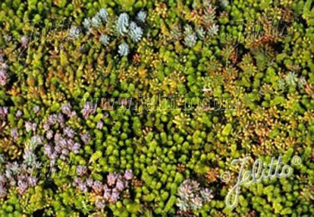 Value Sedum Seed Mix for Green Walls and Roofs x 1 gram.  For Direct Sowing