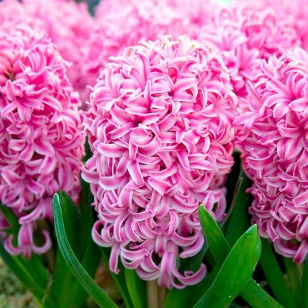 Hyacinth PINK three bulbs planted in a 13cm pot.