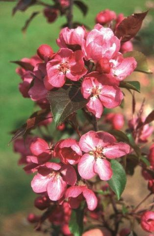 Malus Rudolph crab apple tree in a 12 Litre Pot