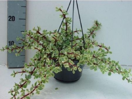 Crassula afra Variegata House Plant in a 14cm Hanging Pot