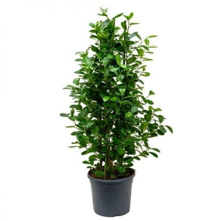 Ficus microcarpa Moclame House Plant in a 21cm Pot.  Approx 105cm tall.