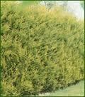 Cupressus Leylandii Castlewellan Gold a 17cm pot.  Good for hedging.