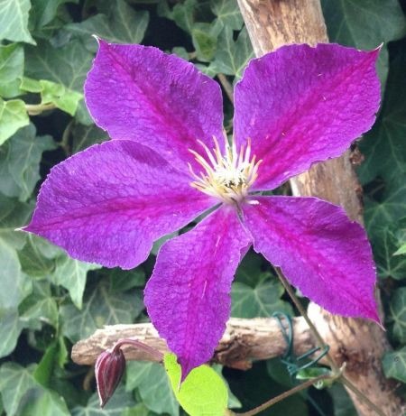 Clematis Star of India plant in a 2 litre pot with cane support