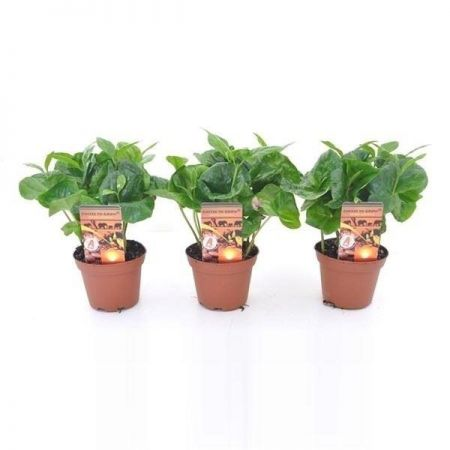 Coffee arabica Plant in 7cm pot x 1 tall Grow your own Coffee!