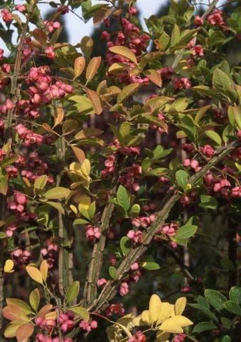 Euonymus phellomanus Shrub in a 12 Litre Pot - Top Worked at 80cm