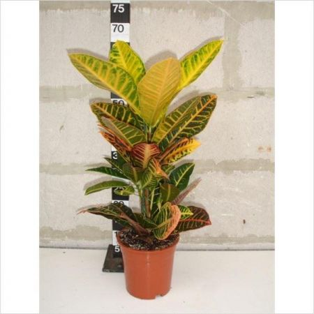 Codiaeum var. Petra house plant in 17cm pot. Approx 50-55cm tall