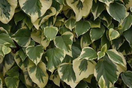 Hedera canariensis 'Gloire De Marengo' in a 3 Litre pot with 3' cane. RHS AGM