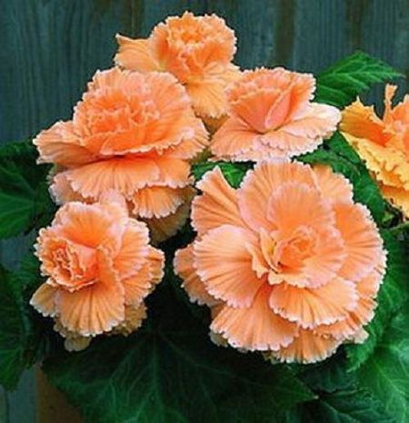 Begonia Lace Apricot Corms x 2  NEW variety HUGE Flowers
