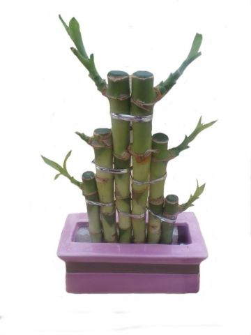 Lucky Bamboo Steps in a pink ceramic pot. House plant, bonsai for Feng Shui