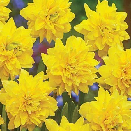 Narcissus Tete DeLuxe Bulbs x 7