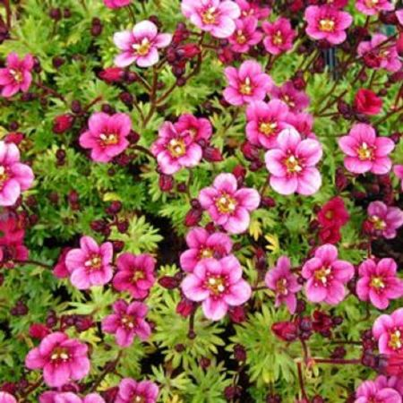 Mossy Saxifrage arendsii Rose Pink in a 10cm pot. Ground cover alpine