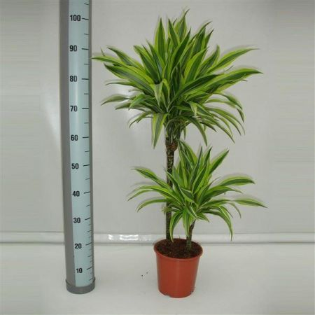 Dracaena Lemon Lime Dragron Tree House Plant with 2 Stems in a 19cm pot 80cm tall inc. pot