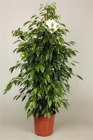 Ficus benj. Anastasia plant.  Approx 100cm tall. Weeping Fig Tree