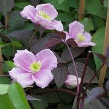 Clematis montana 'Mayleen' climbing plant in 2 litre pot with 3' cane