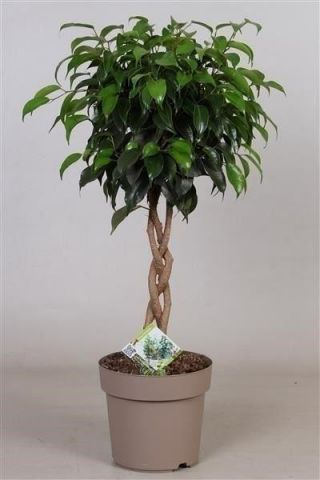 Ficus benjamina Danielle with braided stem. House plant.17cm pot. Weeping fig. 65cm tall