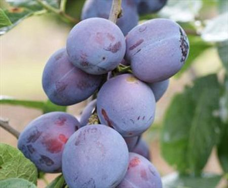 Plum (Prunus) Rivers Early Prolific tree in a 12 Litre pot - Bush form - Rootstock St Julian A