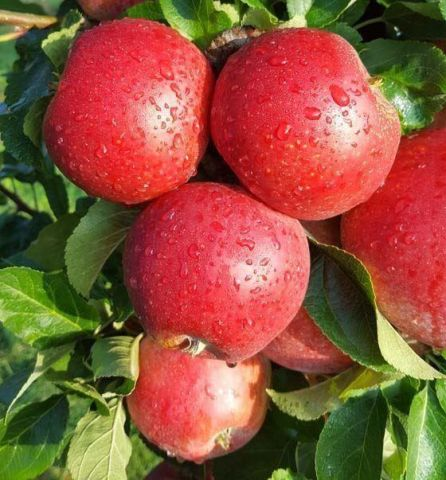 Apple (Malus) Red Windsor tree in a 12 Litre pot - Bush - Rootstock M26