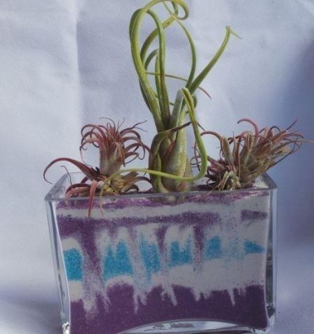 Air plant in MEDIUM glass rectangular cube with 400g GREEN sand.