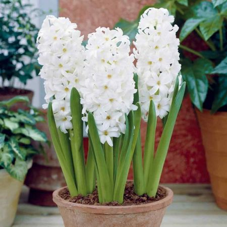 Hyacinth Aiolos bulbs (prepared) x 4.  Indoor fragrance.