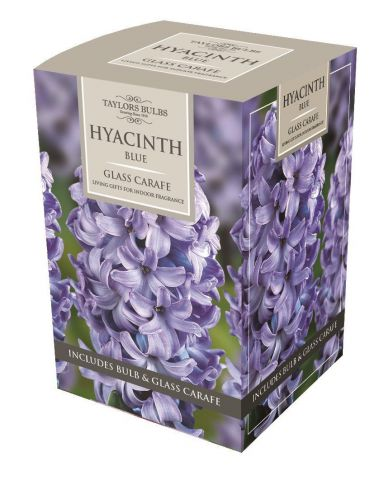 Hyacinth Planting Gift Kit with Bulb and Glass Carafe. Gift Boxed. Blue