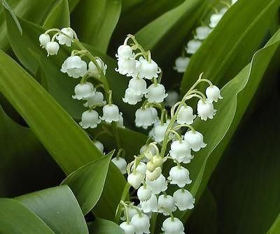 Lily of the Valley (Convallaria Majalis) 1 bunch of 5 pips (bare roots)