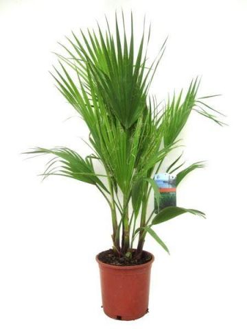 Washingtonia robusta house plant in a 21cm pot.  100cm tall.  Skyduster Palm