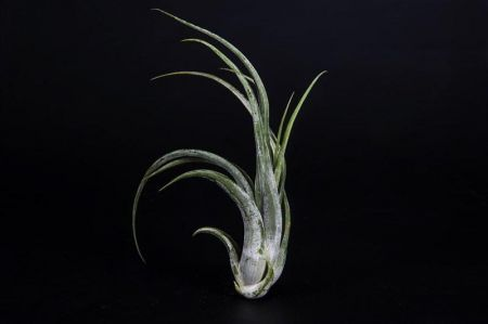 Tillandsia 'Caput Medusa' Plant. Bromeliad / Airplant. Good for terrarium