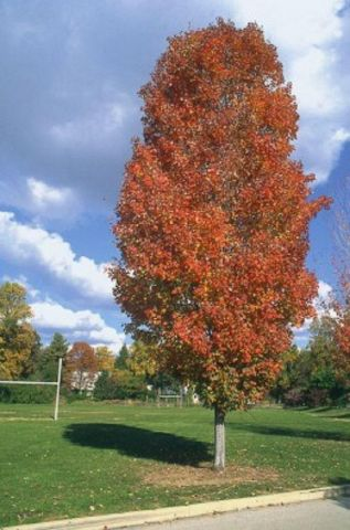 Acer rubrum Scanlon Canadian or red maple tree in 12 litre pot