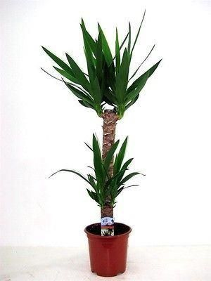 Yucca Tree with 2 Stems.  Tall plant at 75cm.