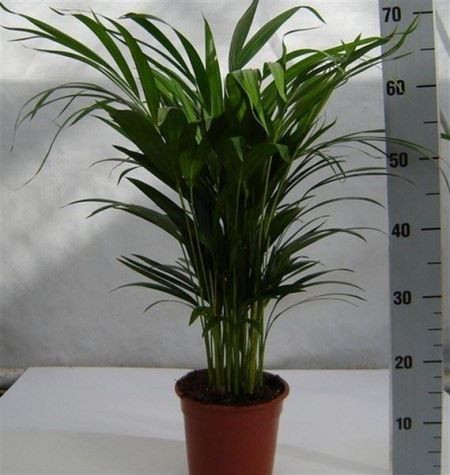 Areca Palm house plant in 17cm Pot  Butterfly Palm.  Dypsis lutescens 55-65cm tall