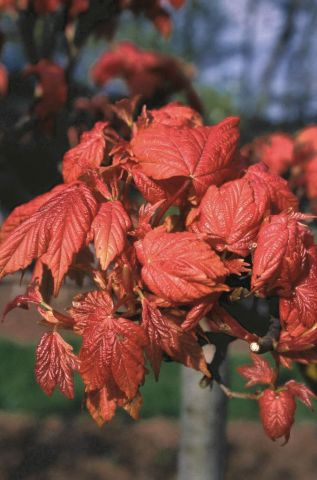 Acer pseudoplatanus Prinz Handjery maple tree in a 12L container (Top worked at 120cm)
