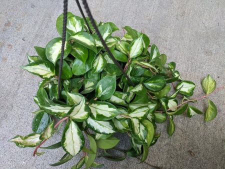 Hoya carnosa Krimson Queen House plant in a 14cm Hanging Pot