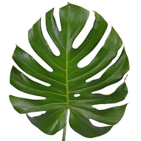 Swiss Cheese Plant Monstera deliciosa house plant in 6cm pot Starter Plant