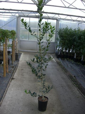 Ilex aquifolium'Nellie R Stevens Holly tree in a 7 Litre Pot