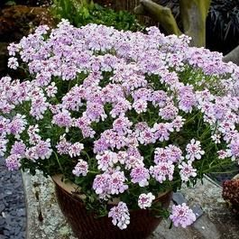 Iberis Pink Ice  alpine perennial plant in 13cm pot.
