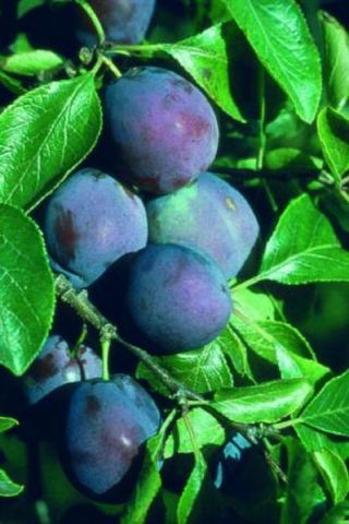 Plum (Prunus) Marjories Seedling tree in a 12 Litre pot - Bush form - Rootstock St Julian A